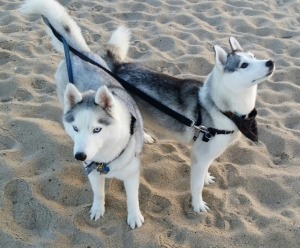two siberian huskies on the beach