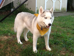 Siberian husky with yellow bandana