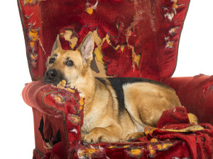 bored german shepherd on destroyed armchair