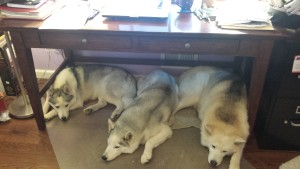 Lobo and his sisters relax under my desk.