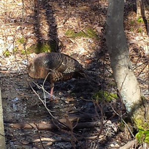 turkey at manasquan reservoir