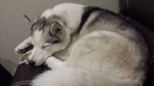 Secret sleeps in traditional husky style