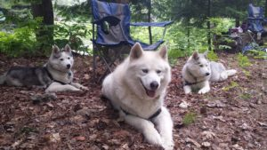 Trio of Huskies with Camping Chair