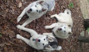 Husky Trio at Highland Mountain Bike Park